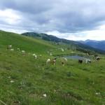 Jura cow land